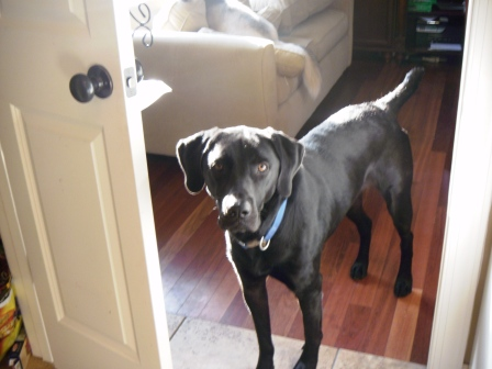Dog, Labrador Retriever
