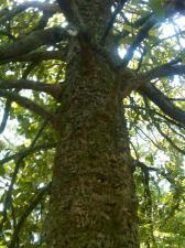 Magnolia Trunk