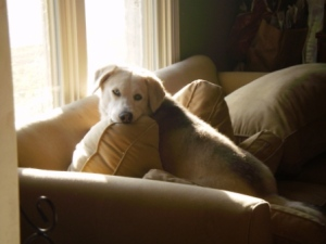 Dog, Couch, Window, husky-basset hound mix