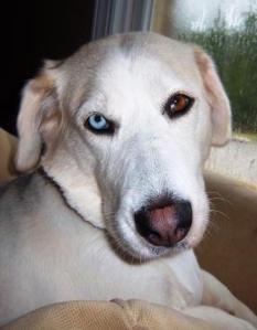 buskey, basset hound, Siberian Husky