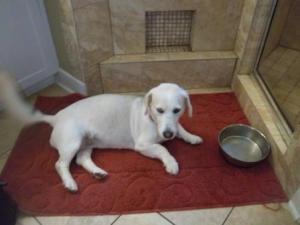 Basset Hound Husky dog
