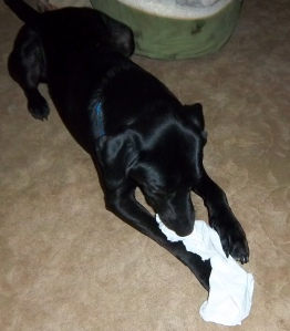 Dog, Chewing, Handkerchief