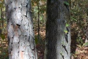 pine tree bark
