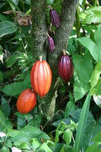 Cocoa pods ripening on the Cacoa tree