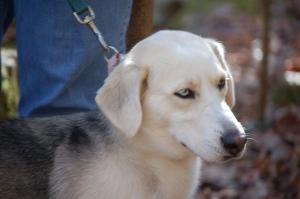 husky basset hound mix