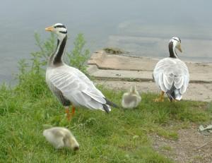 geese and gosling AJKoops