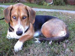 Stella, a basset hound husky mix