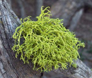 Lichen, Letharia