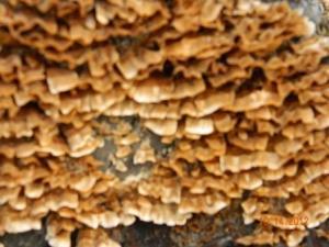 Lichen, Wood