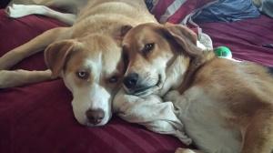 Dogs, basset hound, husky, buskey