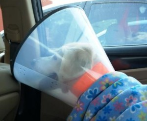 Mandy in the Car after Surgery